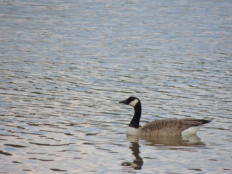 gooseonwater