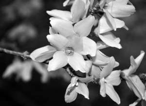 Close-up of a small flower in black & white.